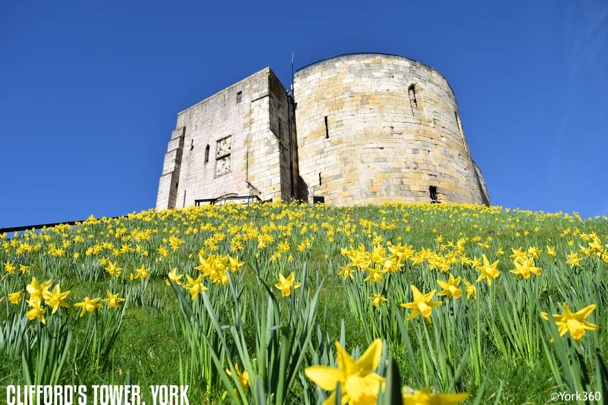 Clifford's Tower Daffodils