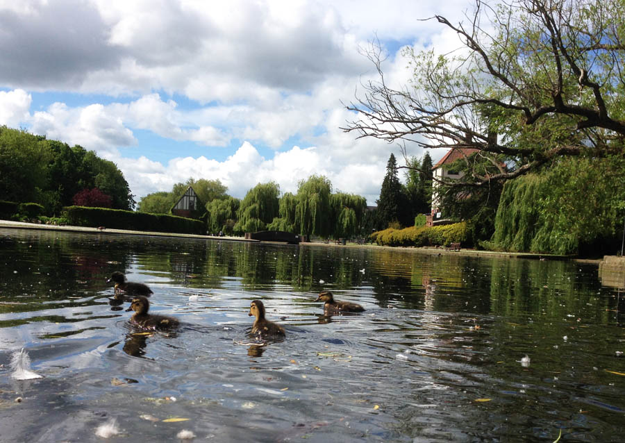 Ducklings in Rowntree Park